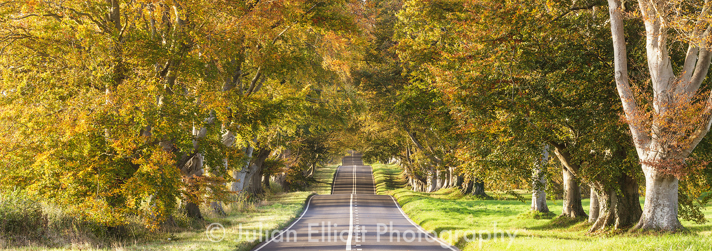 Autumn colour at the Beech Avenue, KIngston Lacy.