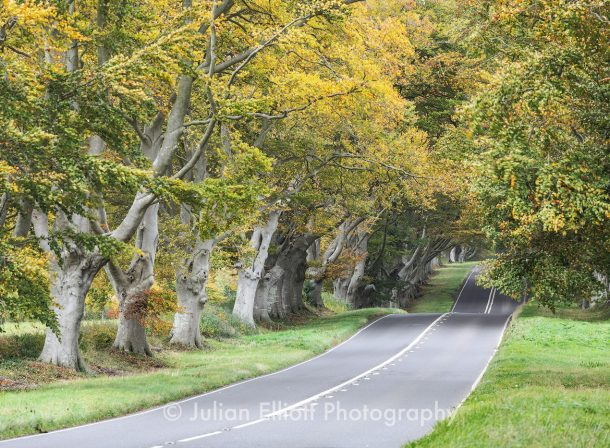 Beech Avenue Autumn