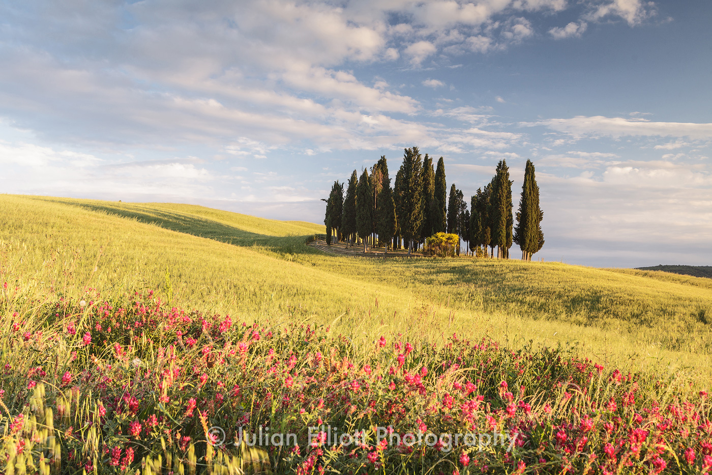 A clump of cypress trees in the Val d'Orcia.