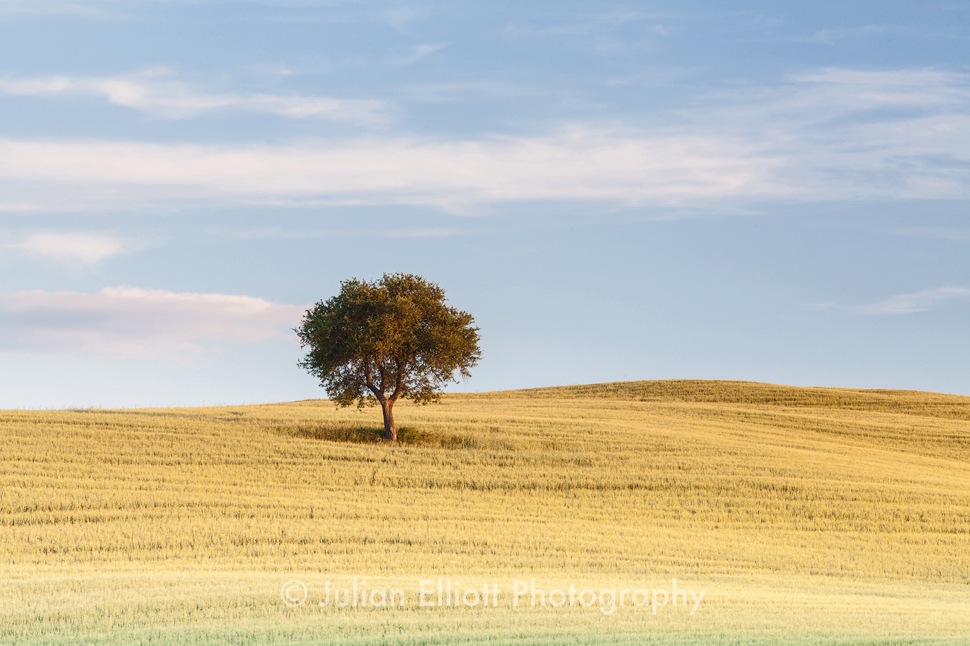 A lone tree in the Val d'Orcia